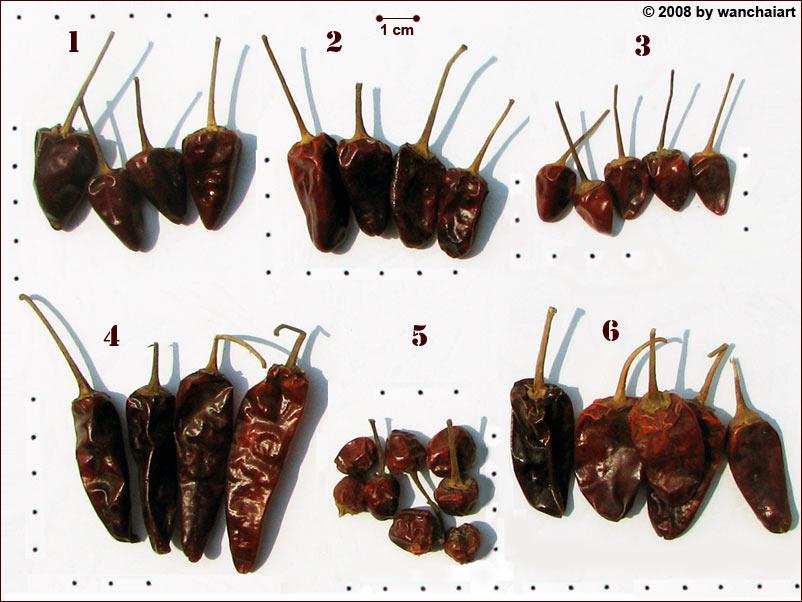 burmachilis2.jpg